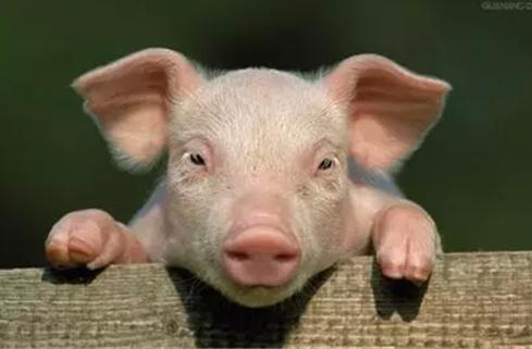 拆猪场要补偿!保持能繁母猪4000-4300万头!农业农村部答记者问