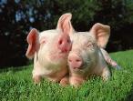 【管理】生猪养殖过程中是通风重要还是光照重要?