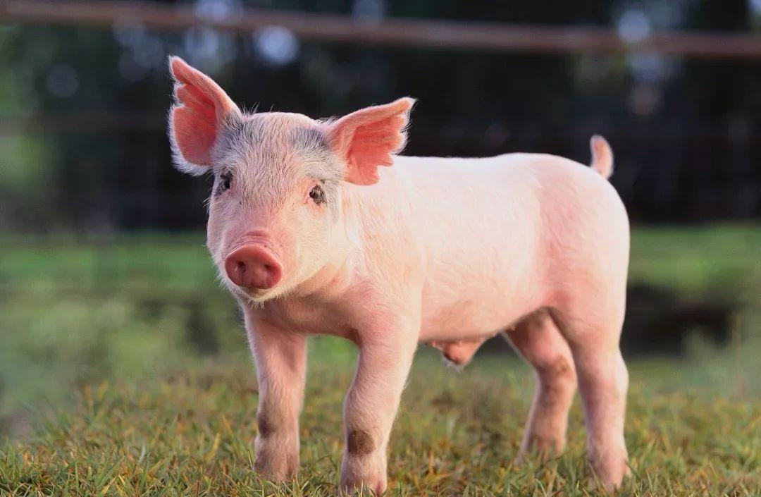 豬場如何提效降費?從天時地利人和,于老板淺談精營思路