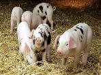 """猪场生物安全不宜做得太过度,应该适当做""""减法"""""""