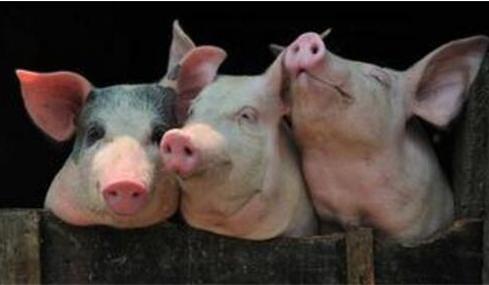 正确的空栏的清洗与消毒可以有效防止新生仔猪腹泻