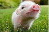 美国生猪短缺!猪肉包装商利润受压榨 为2014年来最惨