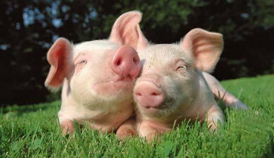 南商农科养猪小课堂:养猪人必看!猪只生长缓慢原因分析大全